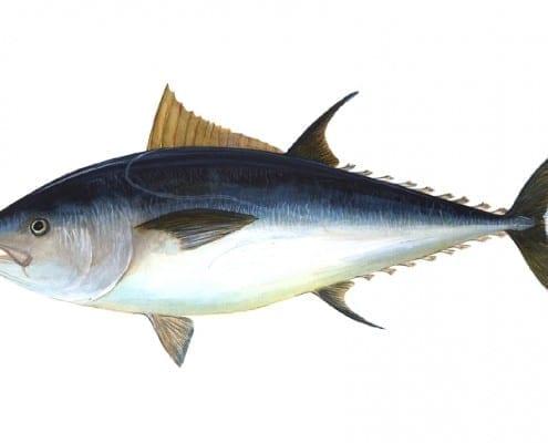 13_c_boyne_atlantic_bluefin